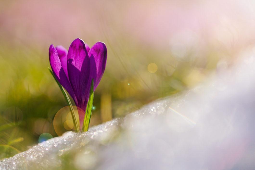 Sunlight hits a purple crocus growing through snow.