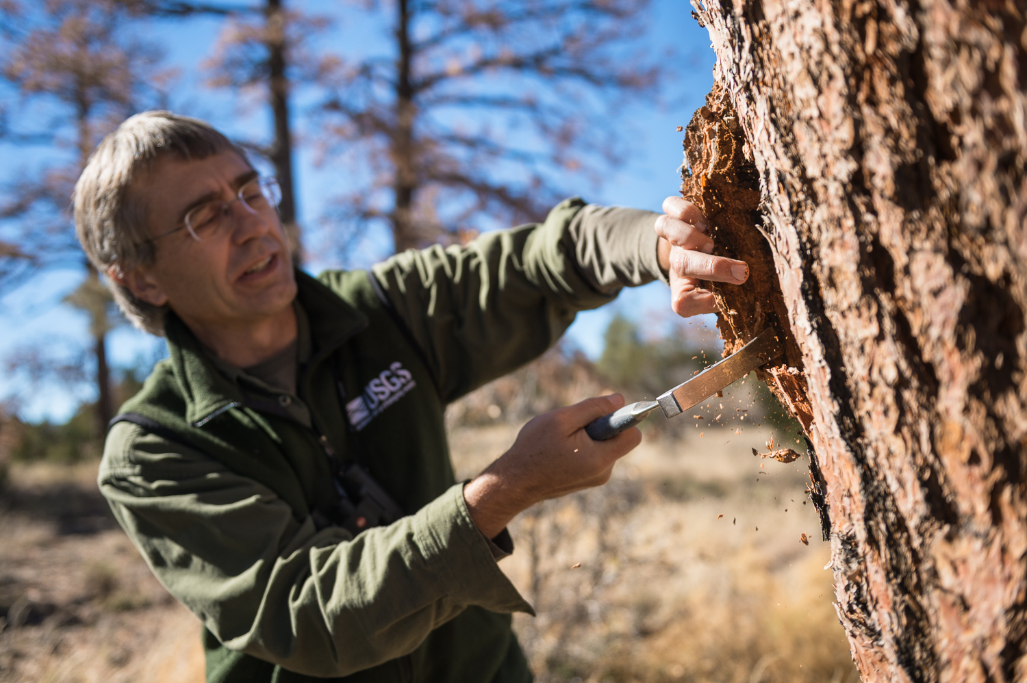USGS research ecologist Craig Allen inspects a dead pine to gain information about how it died. Photo courtesy of Michael Clark.